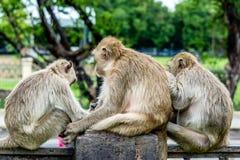 Abilità sociale della scimmia, Lopburi Tailandia Immagine Stock Libera da Diritti
