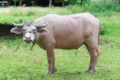 Abino-Büffel Lizenzfreie Stockbilder