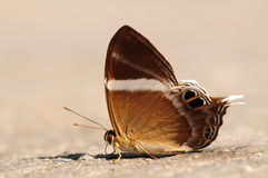 Abisara neophron  / butterfly Stock Photo