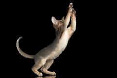 Abisinio juguetón Kitten Catching Paws aislada en fondo negro imagen de archivo libre de regalías