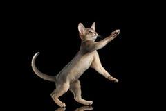 Abisinio juguetón Kitten Catching Paws aislada en fondo negro foto de archivo libre de regalías