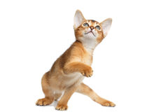 Abisinio juguetón Kitty Curious Standing en fondo blanco aislado imagenes de archivo