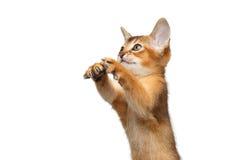 Abisinio juguetón Kitty Curious Standing en fondo blanco aislado fotografía de archivo