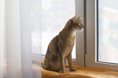 Abissinian katt som ser fönstret Arkivbilder
