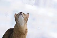Abissinian katt som ser upp Royaltyfri Foto