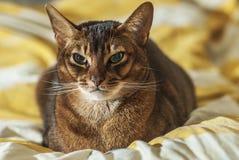 Abisyński kot fotografia royalty free