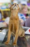 Abisyński kot Obraz Royalty Free