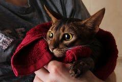 Abisyński kot mokry w czerwonym ręczniku w mistrz rękach Zdjęcia Stock
