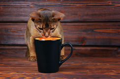 Abisyński kot próbuje pić od dużej czarnej filiżanki Zdjęcia Stock