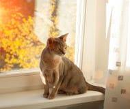 Abisyński kot przy okno Zamyka w górę portreta błękitny abyssinian żeński kot, siedzi na windowsill obraz royalty free