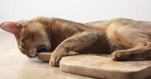 Abisyńska kota odczucia pasja oliwki deska Obraz Stock