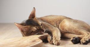 Abisyńska kota odczucia pasja oliwki deska Zdjęcia Stock