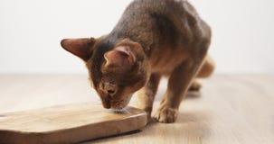 Abisyńska kota odczucia pasja oliwki deska Zdjęcia Royalty Free