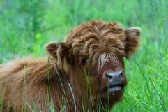 Abitante degli altipiani scozzesi che si trova nell'erba Fotografie Stock Libere da Diritti