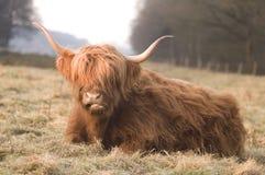 Abitante degli altipiani scozzesi di Scottisch Fotografia Stock Libera da Diritti