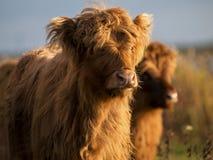 Abitante degli altipiani scozzesi scozzese Fotografie Stock