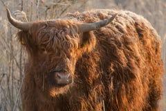 Abitante degli altipiani scozzesi scozzese Fotografia Stock