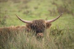 Abitante degli altipiani scozzesi scozzese, bos taurus fotografia stock libera da diritti