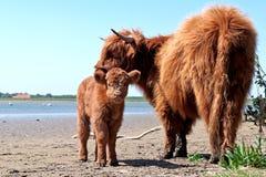 Abitante degli altipiani scozzesi scozzese con il vitello Immagine Stock