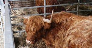 Abitante degli altipiani scozzesi scozzese in granaio che rumina, HD stock footage