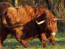 Abitante degli altipiani scozzesi scozzese nell'orario invernale in Olanda immagini stock