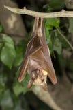 Abitante della Gambia epauletted il cibo del pipistrello della frutta (gambianus di Epomophorus) Immagine Stock Libera da Diritti