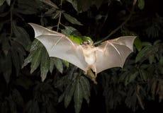 Abitante della Gambia epauletted il volo del pipistrello della frutta (gambianus di Epomophorus) Fotografie Stock