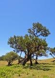 Abitante di Madeira Fanal Fotografia Stock