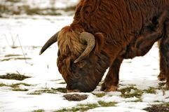 Abitanti degli altipiani scozzesi scozzesi Fotografie Stock Libere da Diritti