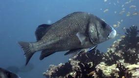Abitanti subacquei su fondo di fondale marino stupefacente in Maldive stock footage