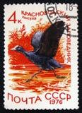 Abitazione di atra del Fulica della folaga nella riserva di Krasnovodsky, circa 1976 Immagini Stock Libere da Diritti