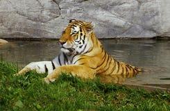 Abkühlender Tiger Stockfotografie
