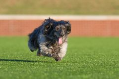 Ablack long haired dachshund running joyously in the sunshine. On a sunny day, a black long-haired dachshund runs full speed with a joyous expression stock image