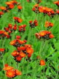 Ablaze. A field of bright orange and red flowers, with a background of fresh green grasses royalty free stock photo