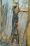 Ablaze tree 8. An ablaze tree in forest fire. Early spring Stock Image