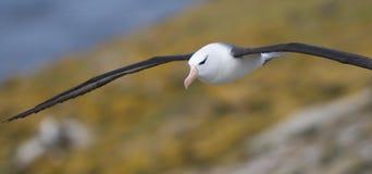 Ablbatross auf dem Flügel Stockbilder