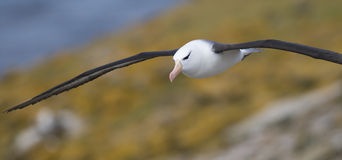 Ablbatross on the Wing. A Black-browed Albatross gliding over the colony - Falklands Stock Images