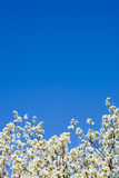 Abloom apple tree over the blue sky Stock Images