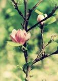 Abloom blomma av magnolian Arkivbilder