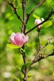 Abloom blomma av magnolian Arkivbild