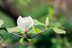 Abloom blomma av magnoliaträdet i sommartid Royaltyfria Bilder