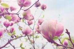 Abloom blomma av magnoliaträdet i vår Royaltyfri Foto