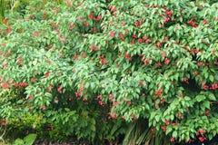 Abloom buske Royaltyfria Bilder
