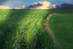 Abloom cornfield Stock Photography