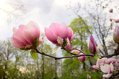 Abloom flower of magnolia tree in springtime Stock Photography