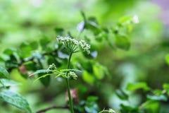 Abloom inflorescence av Umbelliferaeväxten på den suddiga bakgrunden av vibrerande grönska Royaltyfria Foton