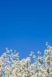 abloom niebieski jabłkowy nieba ponad drzewem Obrazy Stock