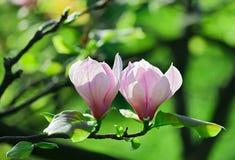 abloom pink för blommamagnoliapar Royaltyfri Foto