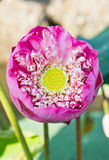 Abloom pink lotus. Royalty Free Stock Photo