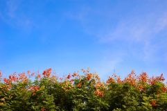 Abloom tree and blue sky Royalty Free Stock Photos